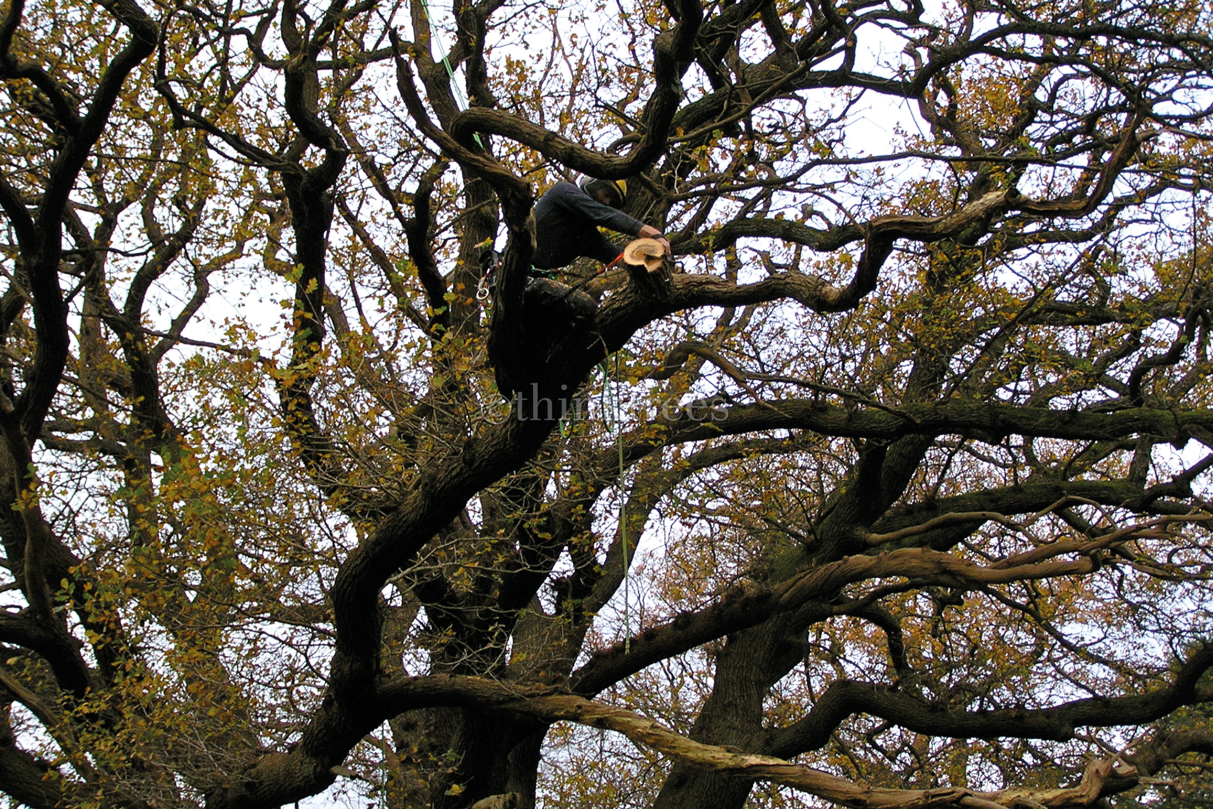 Arborist carrying out end weight reduction of a poorly tapered structural branch