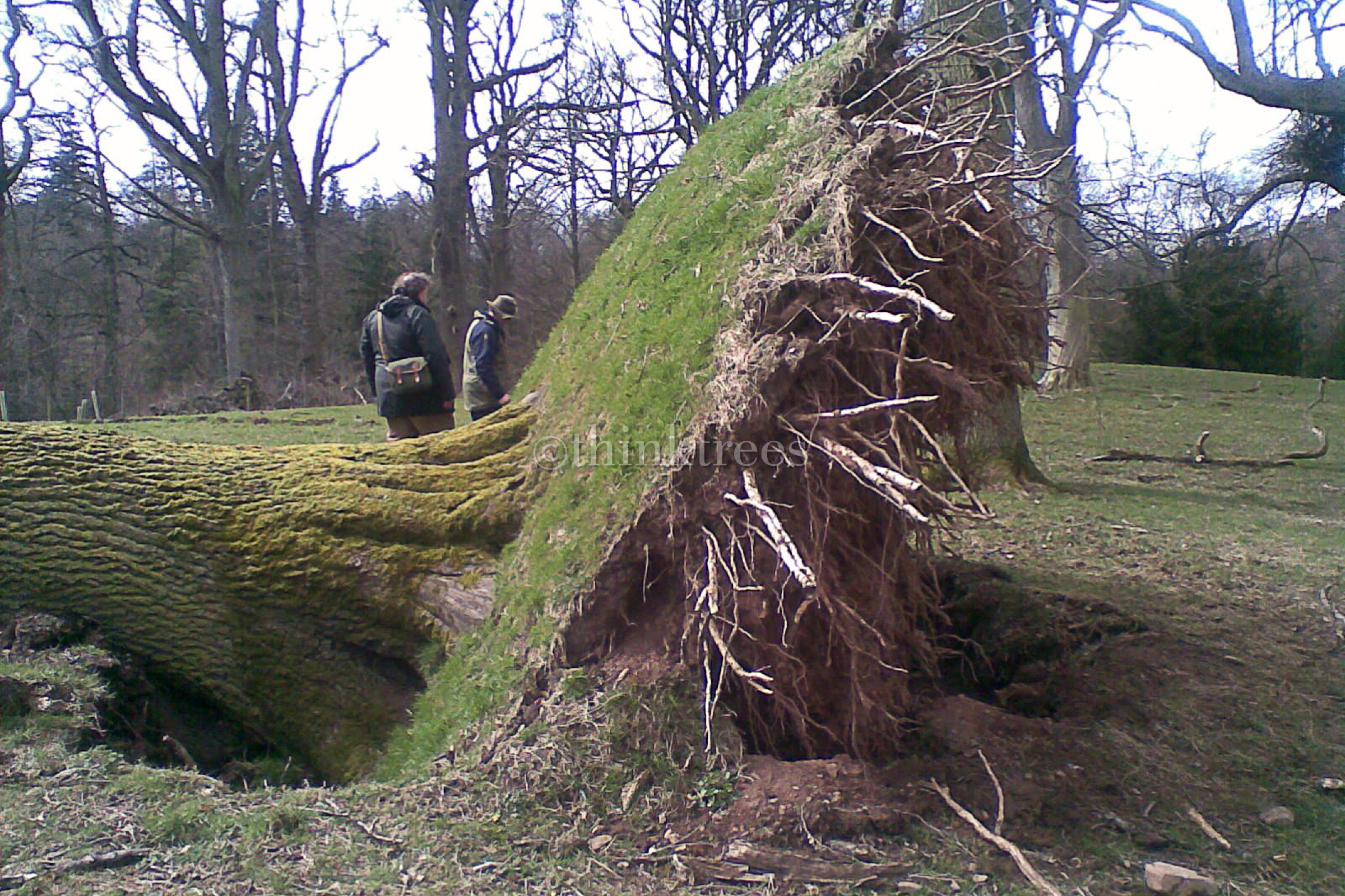 Root plate of a wind thrown tree