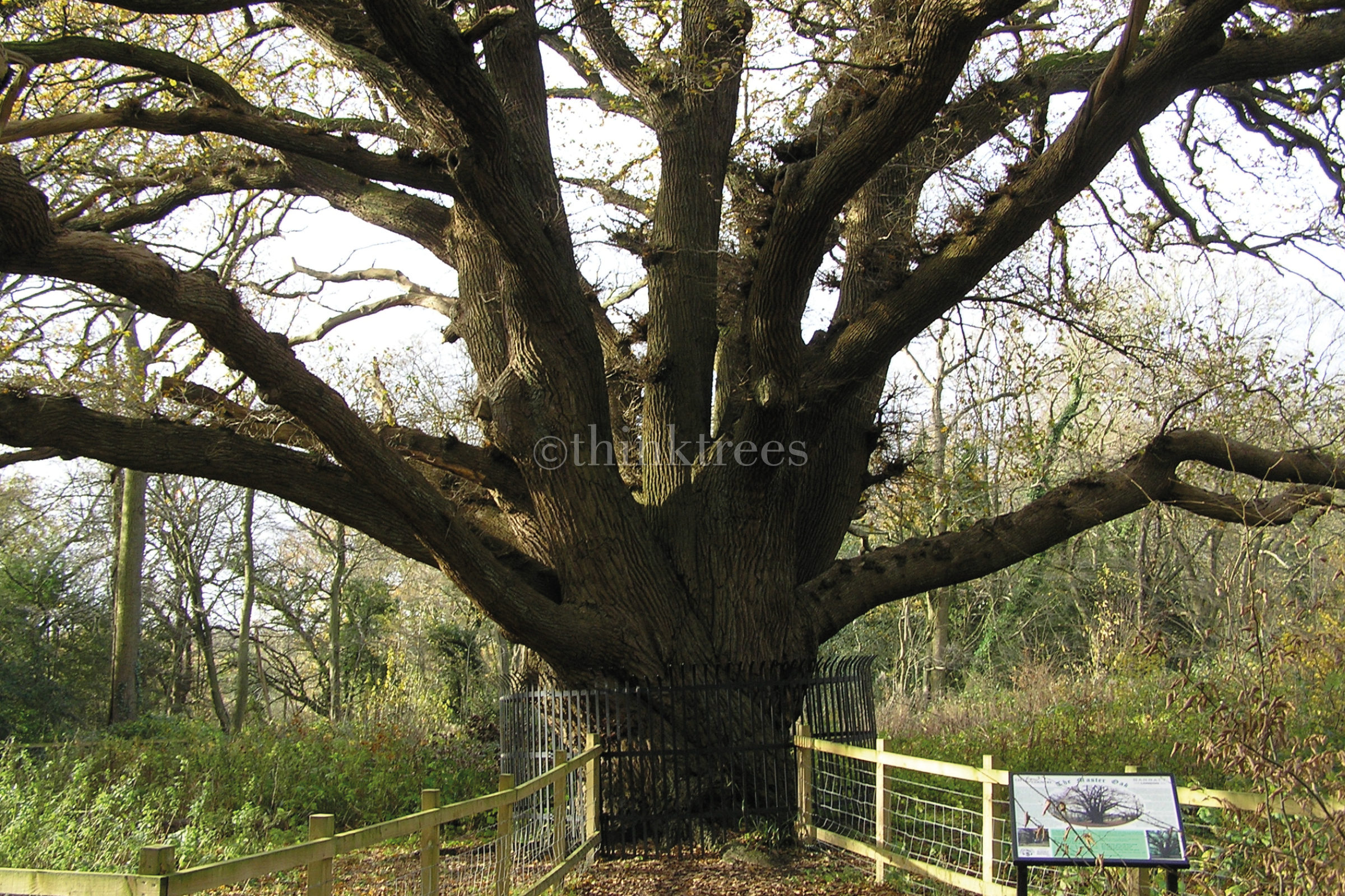 The enormous trunk of the ancient oak at Bentley Priory