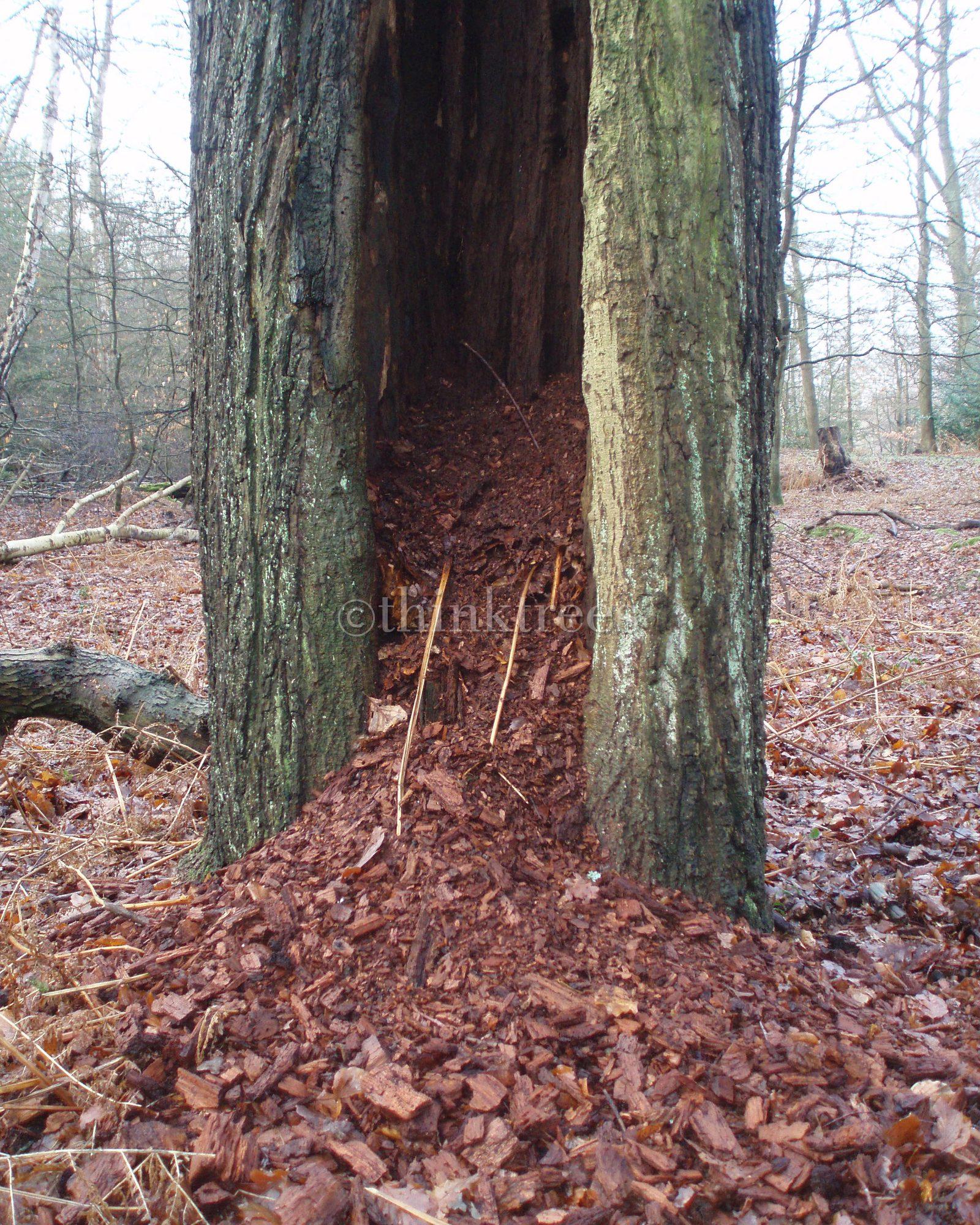 The hollow trunk of a veteran beech pollard at Burnham Beeches, Buckinghamshire
