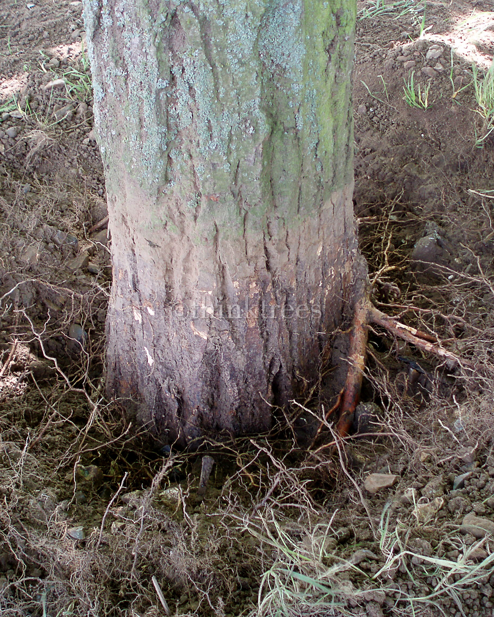 The result of root collar excavation carried out on a lime tree that had the soil level raised around the base detail