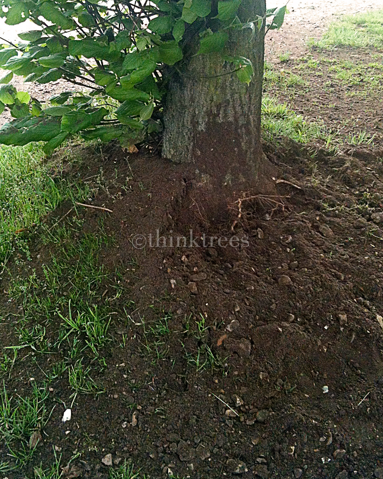 The result of root collar excavation carried out-on a lime tree that had-the soil level raised around the-base